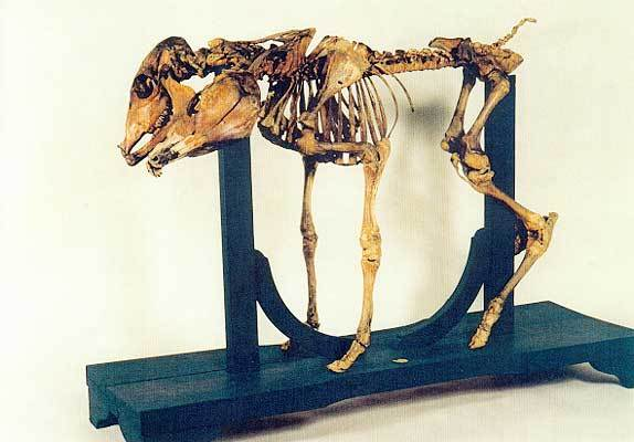 Skelett eines doppelköpfigen Kalbs
