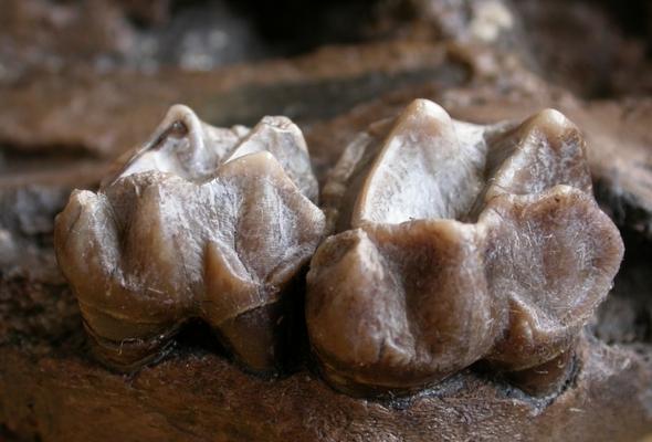 Fossile Zähne des Tapirverwandten der Gattung Lophiodon